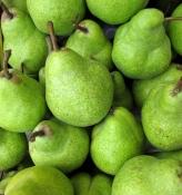 Fresh Winter Pears NCES Catalog